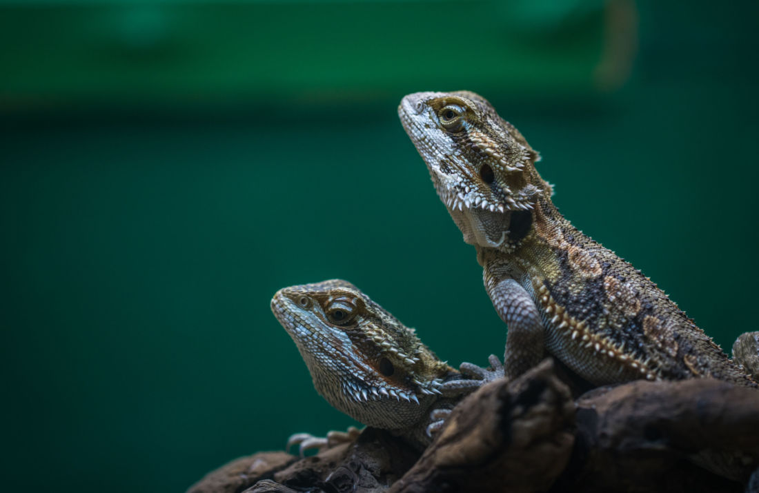 lézards