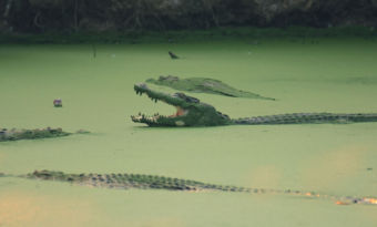 crocodile indonesia