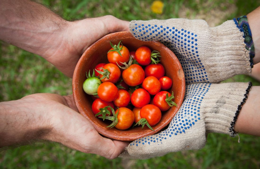 tomate, agriculture