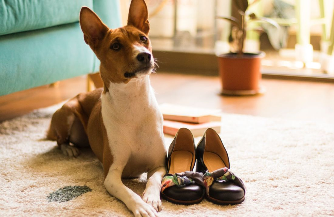 10 races de chiens que l'on peut adopter quand on vit en appartement